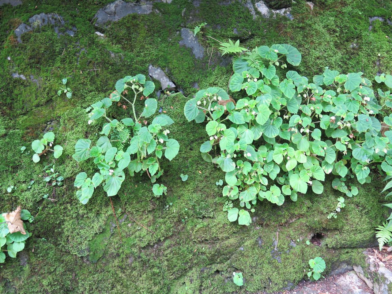 Begonia hirtella in Hawaii