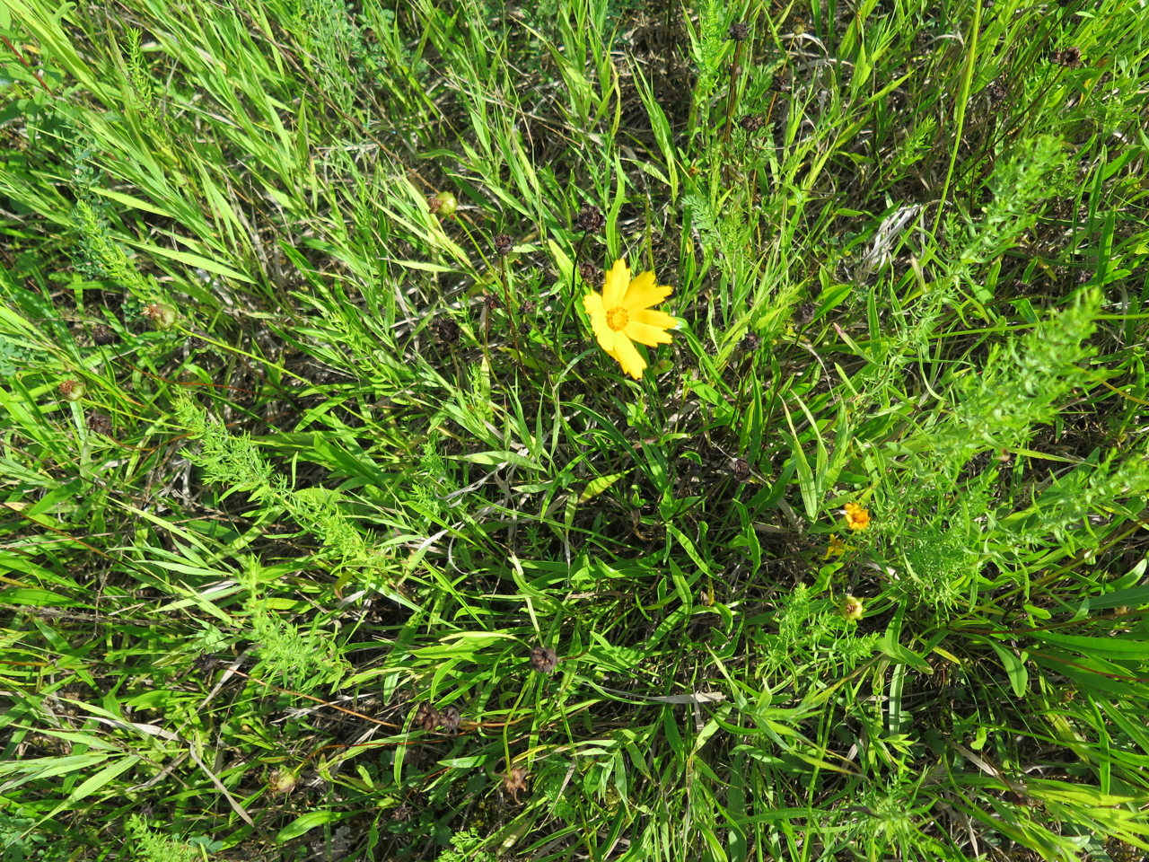 Coreopsis lanceolata in Wisconsin