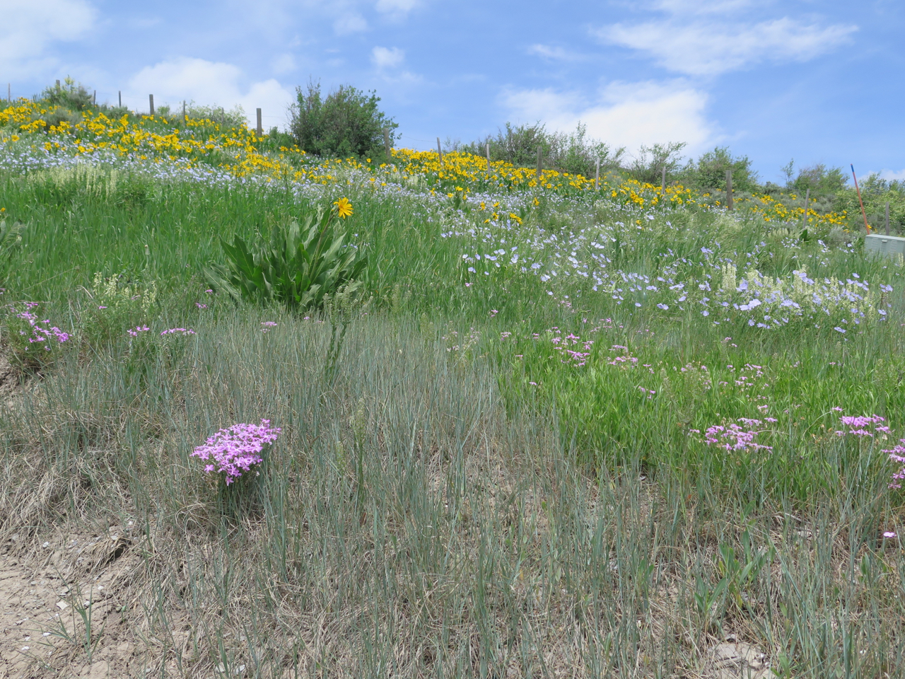 Phlox latifolia in Colorado