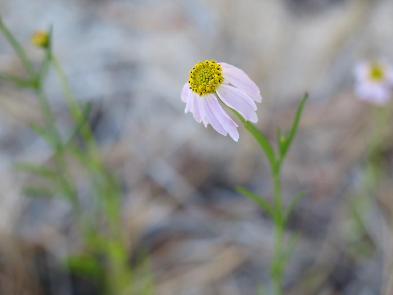 Coreopsis rosea in Massachussetts