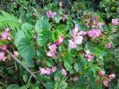 Begonia sp. in Hawaii