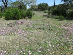 Phlox roemeriana in central Texas