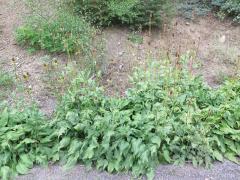 Rudbeckia californica in California
